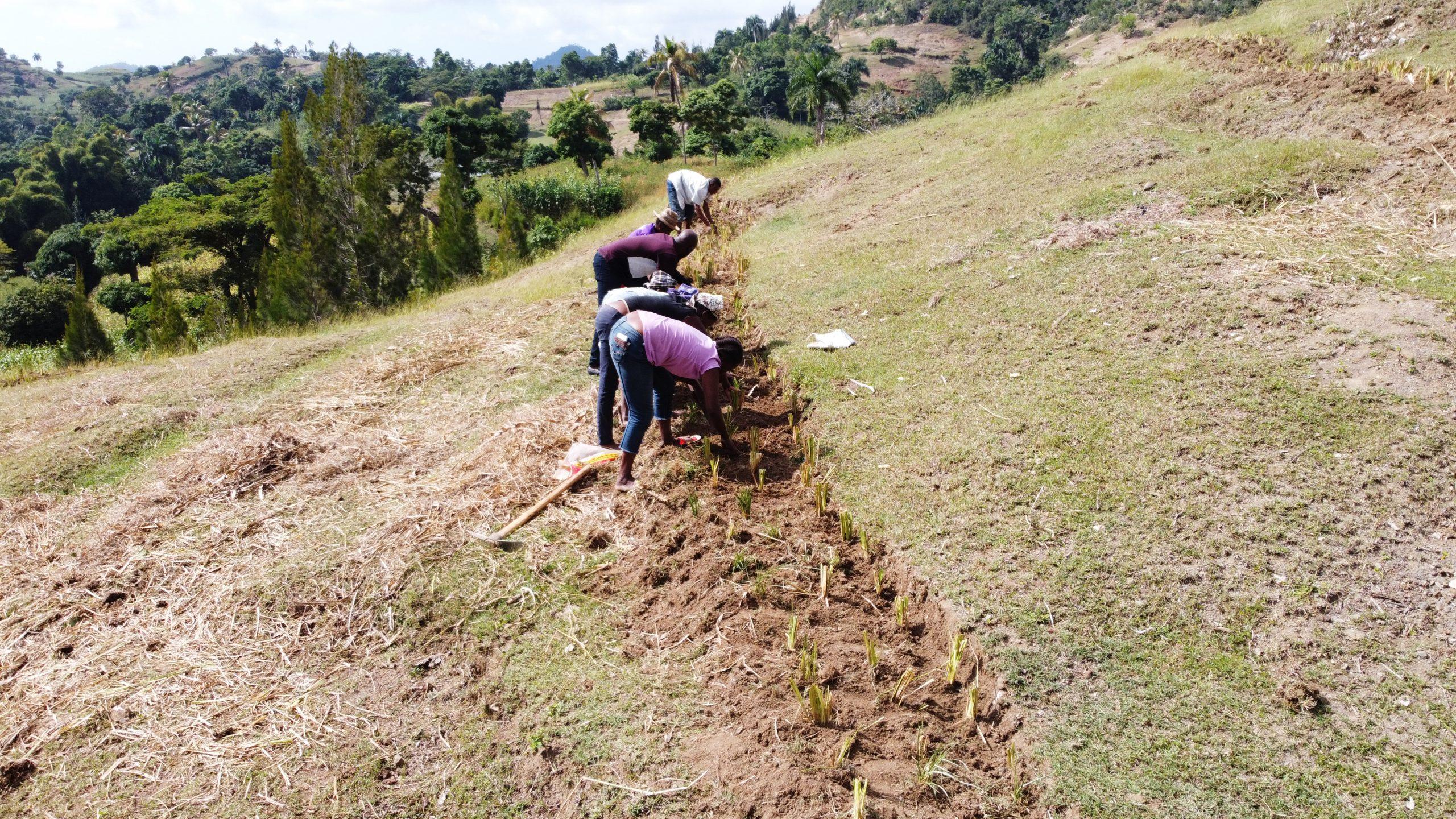Community members planting grass strips on hillsides as erosion control measures (Osse Manuel Recule, Haiti Red Cross)